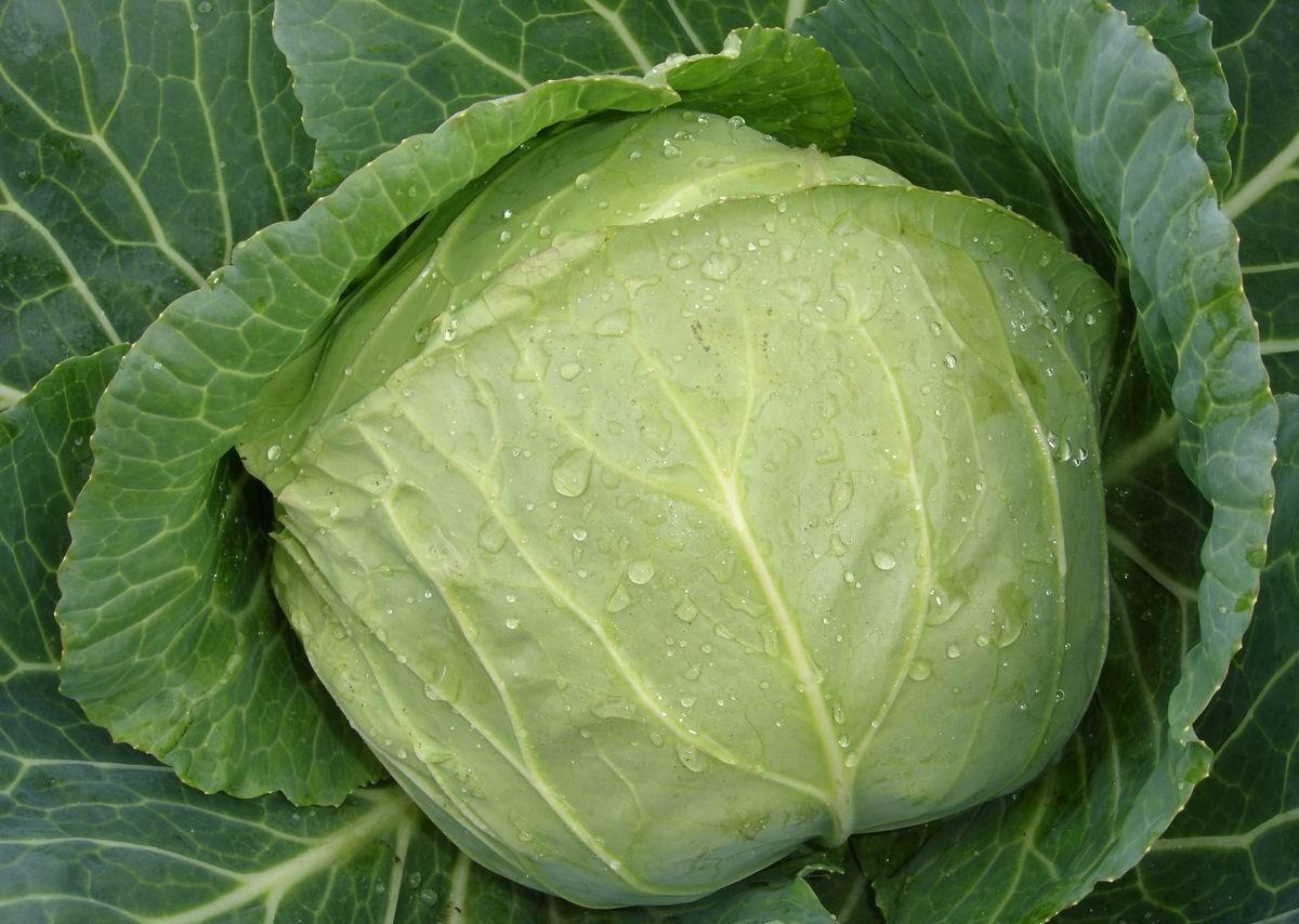 капустный лист при мастите