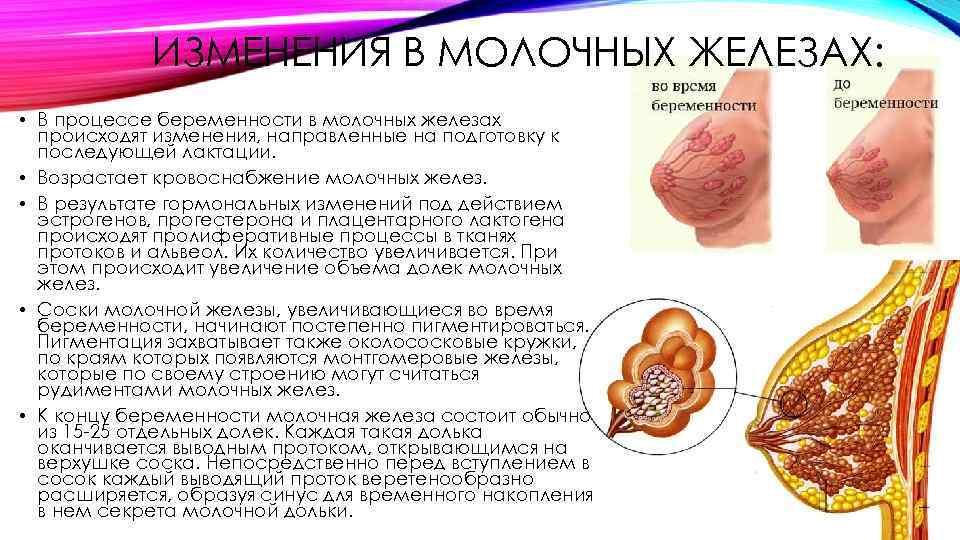 описание груди при беременности