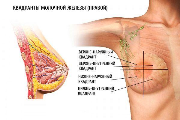 Квадранты молочной железы1