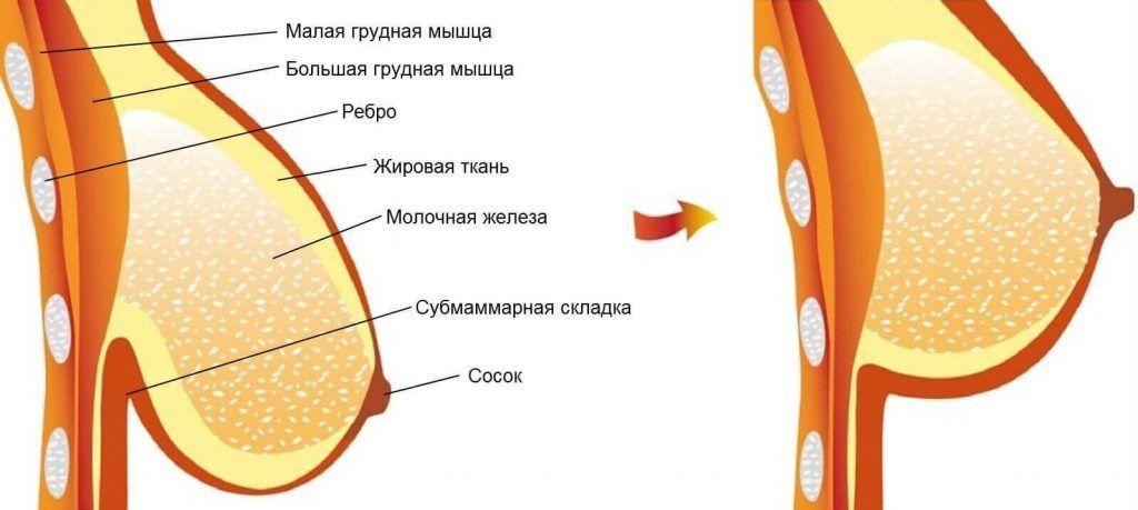 Основная единица грудной железы