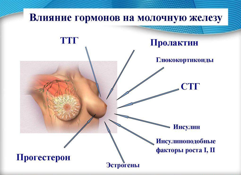 влияние гормонов на молочную железу